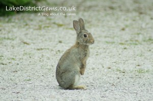 Rabbit standing tall