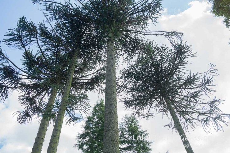 Monkey Puzzle trees at Holker Hall