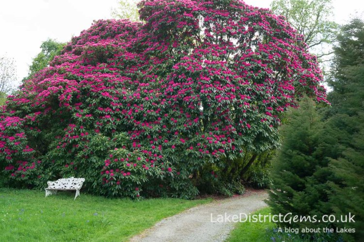 Rhododendrons at Holker Hall