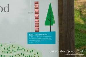 Cumbria's Tallest Tree