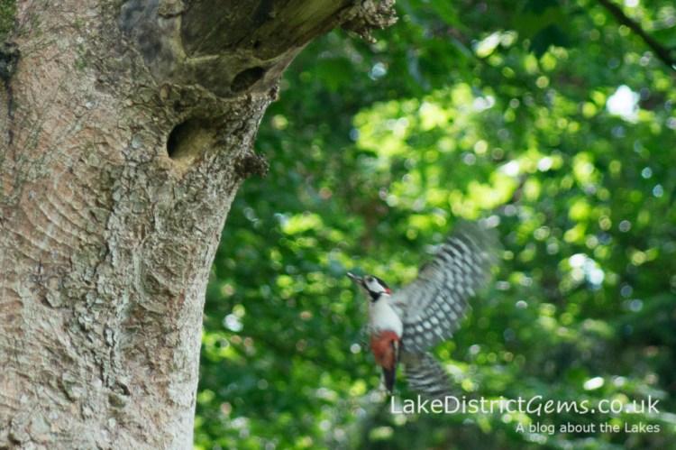 Woodpecker landing
