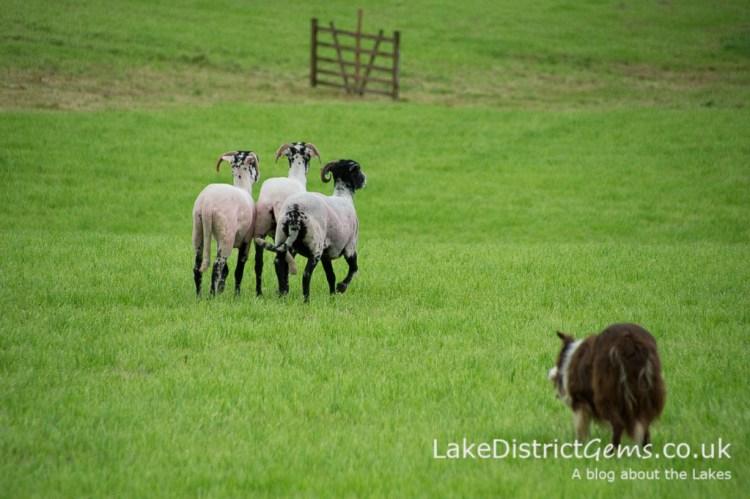 The Lake District Sheepdog Trials, Ings