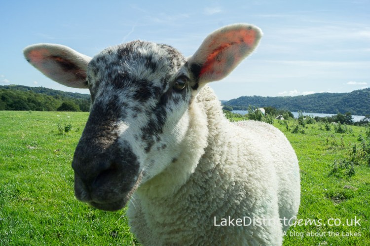 A sheep with plenty of character on Queen Adelaide's Hill