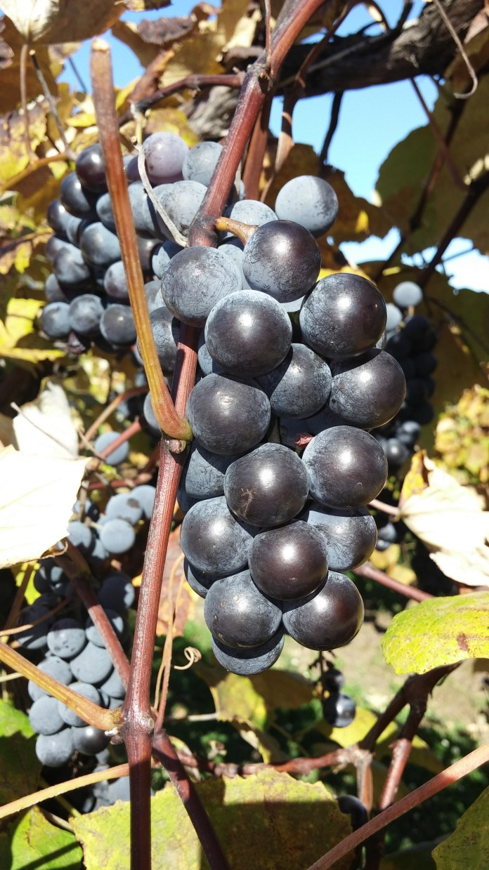 Grape Harvest, it smells great around here!