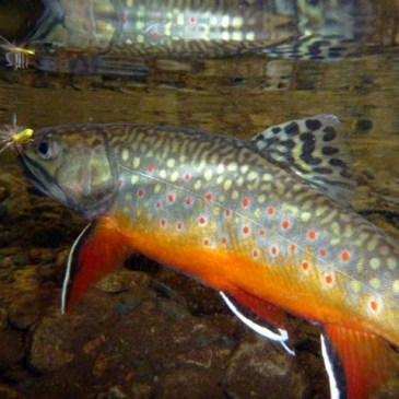 Saving Brook Trout in the Smokies