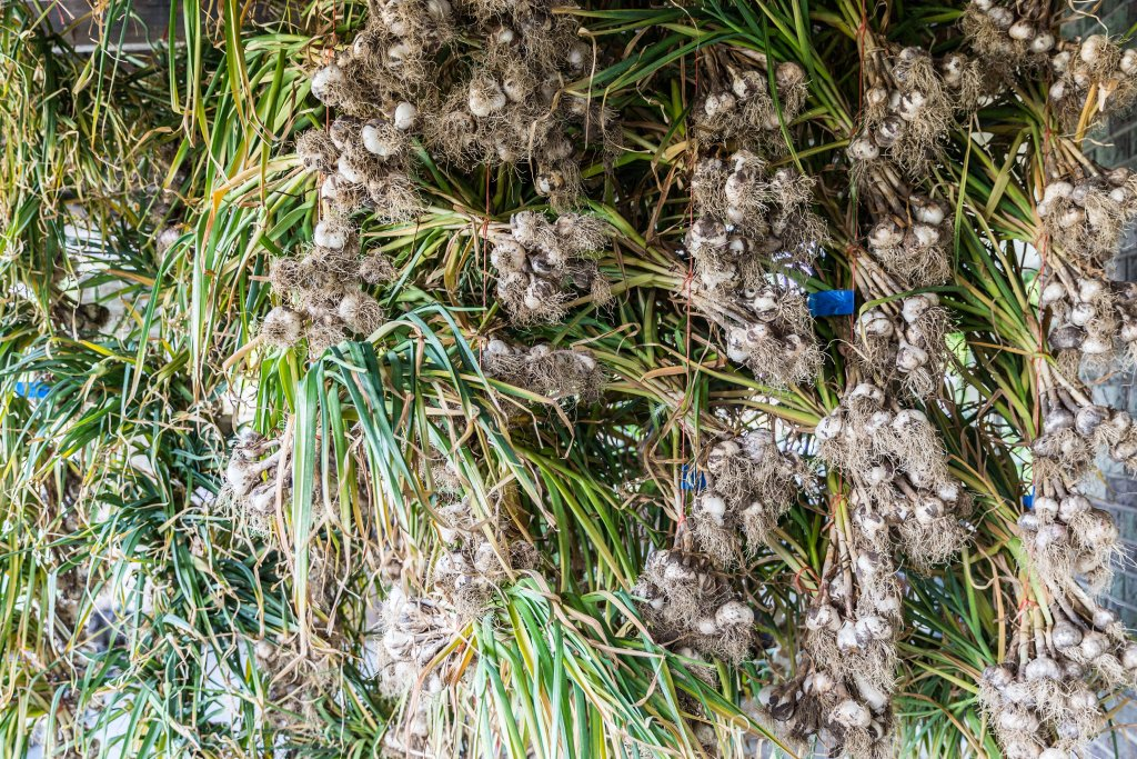 bunches of garlic hanging from rafters to dry