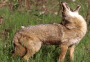 Coyote and Wolf Reduction Program Underway