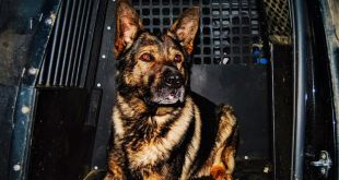 Cold Lake police dog Harp sees 316 total files in 2020