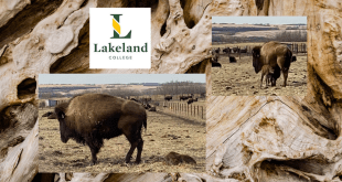 Lakeland College welcomes new bison calf as they wrap up this year's programming
