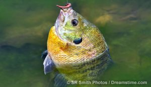 fisheries-bluegill-1