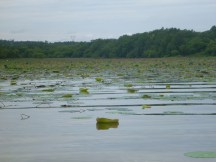 Lily pad field last year