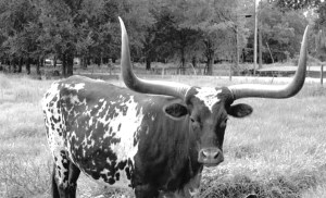 Ranches were a significant part of Wesley Chapel's history. An outstanding Texas Longhorn-Ankole bull was 15 years old and had a horn span of 54 inches, when he died at K-Bar Ranch in Wesley Chapel.