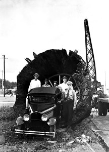 A car parked at the end of a cypress log in the 1930s illustrates the enormity of the trees that were felled in the Wesley Chapel area. Large timber companies or trusts acquired vast tracts of land that were depleted of lumber. Many deserted the claims, once the limber was harvested and the properties were sold for tax deeds.