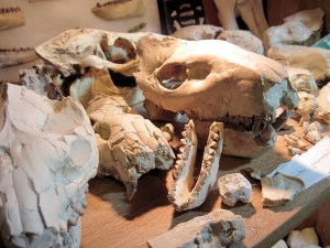 The couple has traveled to Nebraska 19 times to hunt for fossils and plan to make a 20th trip there this year.