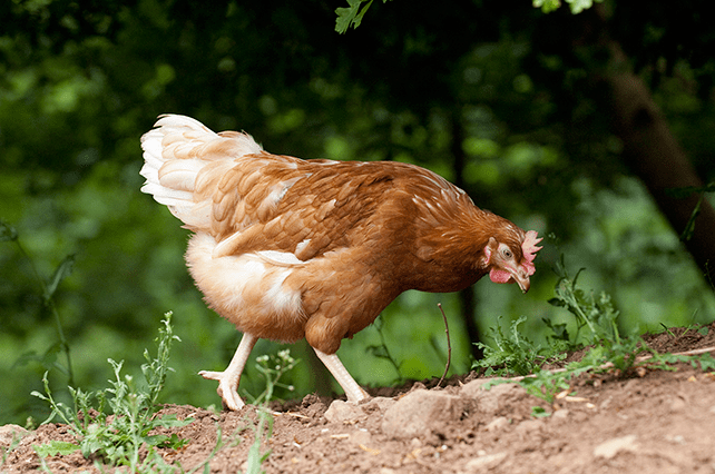 Hen walking under trees - good animal welfare