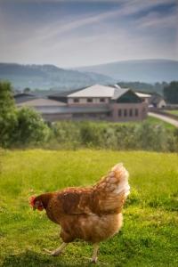 Lakes Free Range Egg Co hen