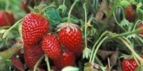 strawberryfromext