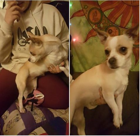Lost Chihuahua Mix Found Near Tahoe Valley Campground ~ Lake Tahoe Humane Society and SPCA