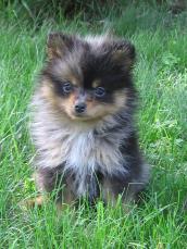 Pomeranian Breeders Mn : pomeranian, breeders, Lakeside