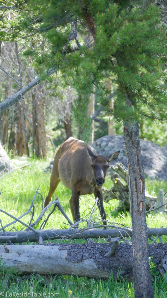 Young elk grazing near walking trail in Yellowstone Park. Amazing beauty at every turn! | www.lakesidetable.com