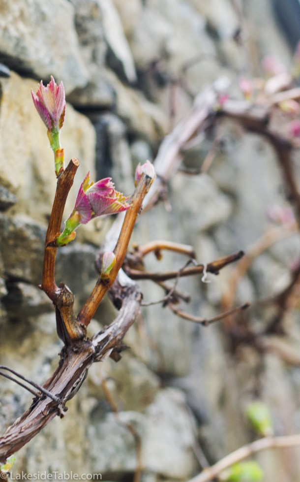 This vine was over 200 years old and showing the first signs of spring.
