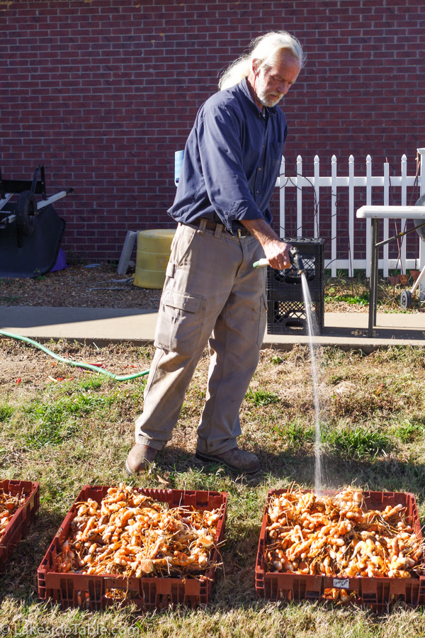 A man with a white pony tail hosing off crates of orange turmeric roots in the yard