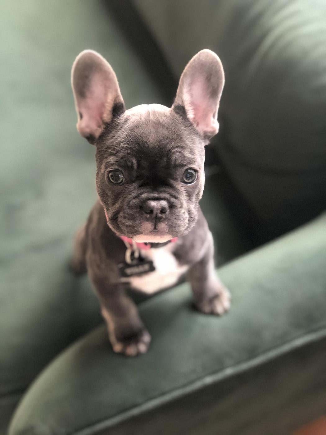 French Bulldog Puppies Dallas : french, bulldog, puppies, dallas, Tilly,, French, Bulldog, Puppy,, Cutest, Around, Lakewood/East, Dallas