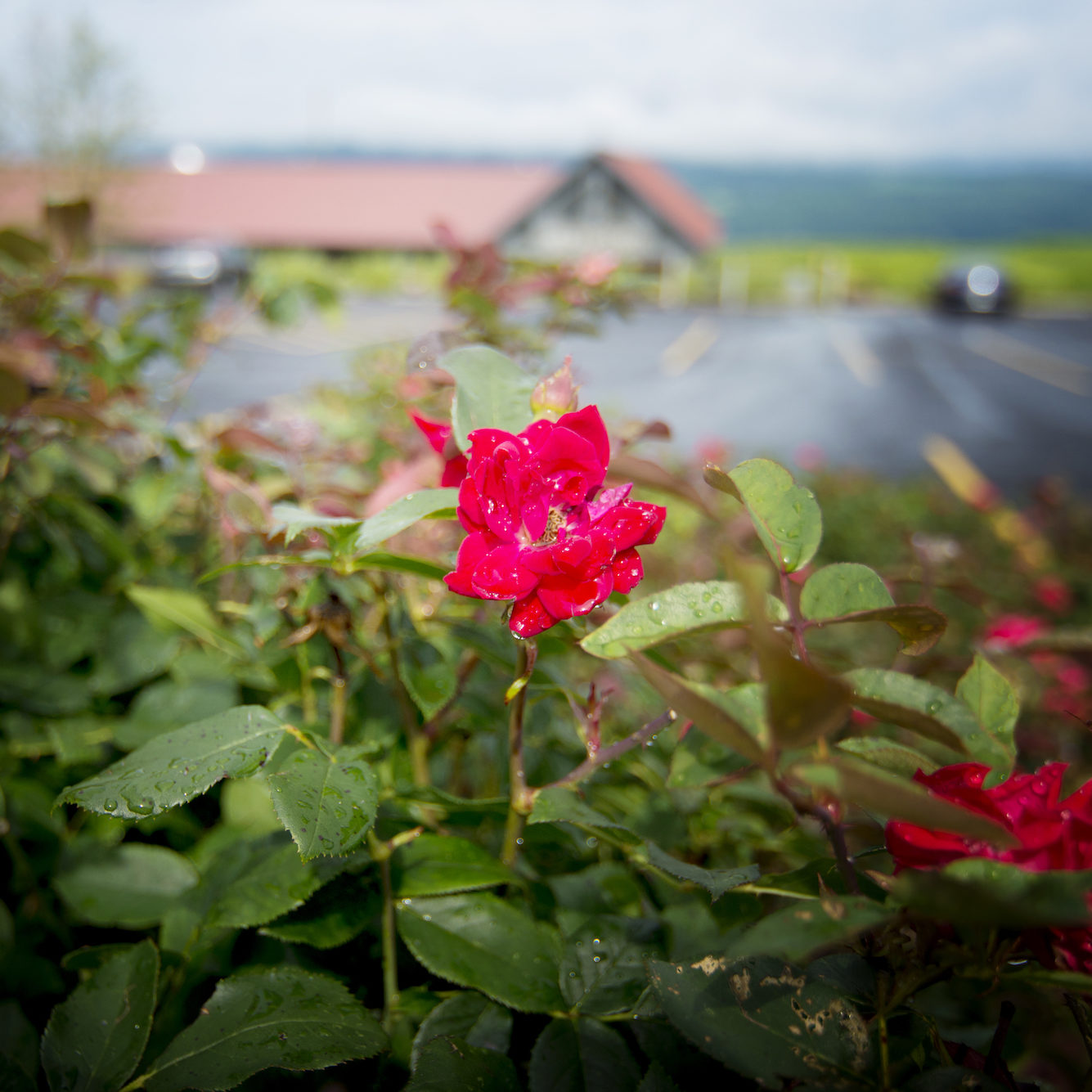 Lakewood Vineyards' Rose | Finger Lakes Vineyards
