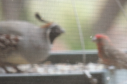 quail standoff