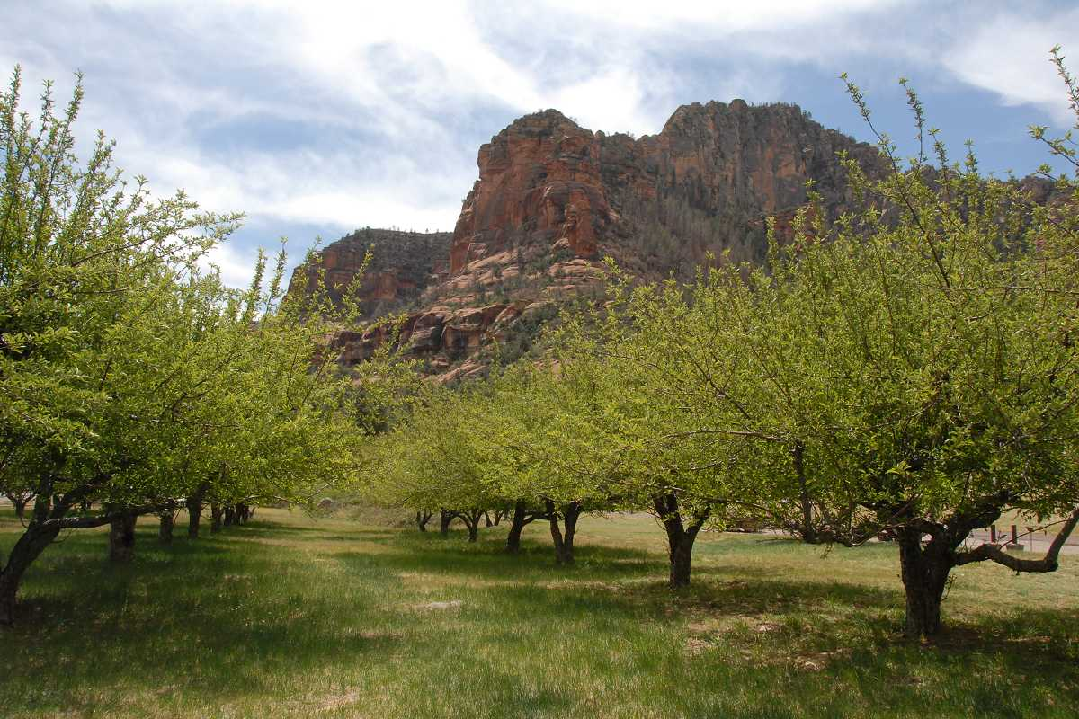 Tree pioneers of the Verde Valley