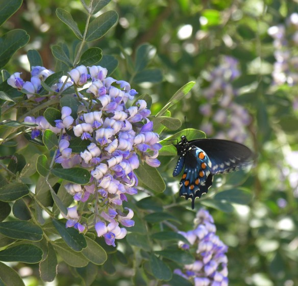 Texas Mountain Laurel - Pipevine Swallowtail butterfly