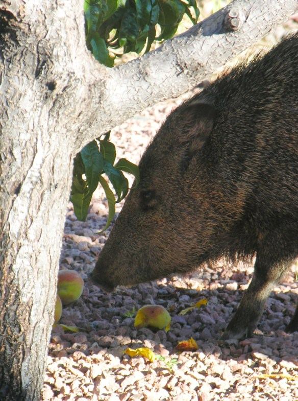 javelina and peach tree