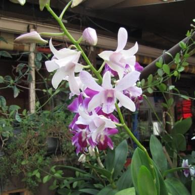 цветы таиланда орхидеи