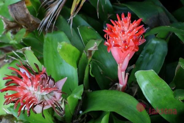 Бильбергия пирамидальная, Billbergia pyramidalis тайские цветы
