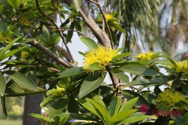 Ксантостемон золотистый (Xanthostemon chrysanthus) желтый пушистый цветок таиланд