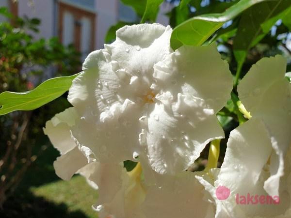 Табернемонтана цветы таиланда