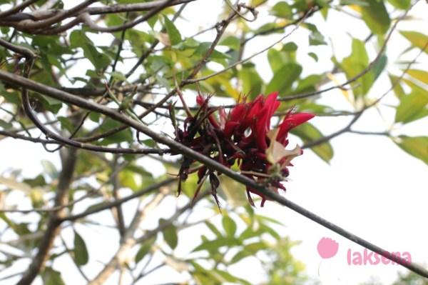 Эритрина пестрая, или Индийское коралловое дерево Erythrina variegata – Indian Coral Tree