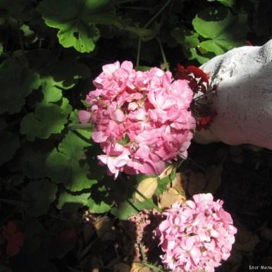 Пеларгония, герань (Pelargonium) цветы крита