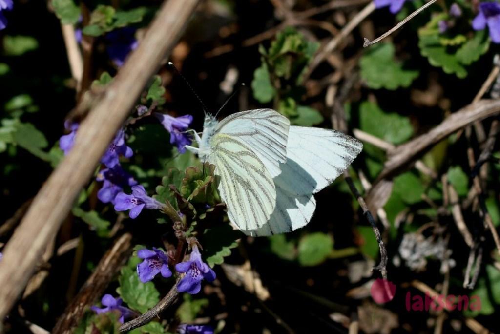 Брюквенница сибирские бабочки