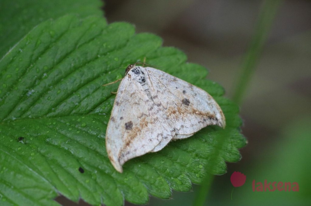 Серпокрылка березовая (Drepana falcataria) бабочки сибири