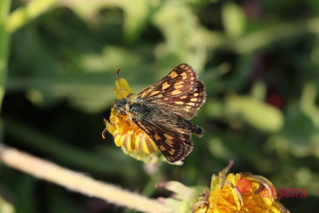 Толстоголовка Палемон бабочки сибири новосибирская область