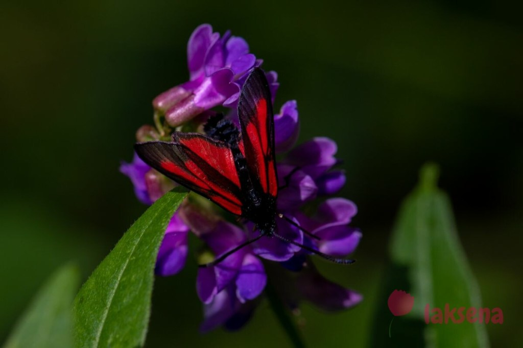 Пестрянка пурпурная (лат. Zygaena purpuralis)