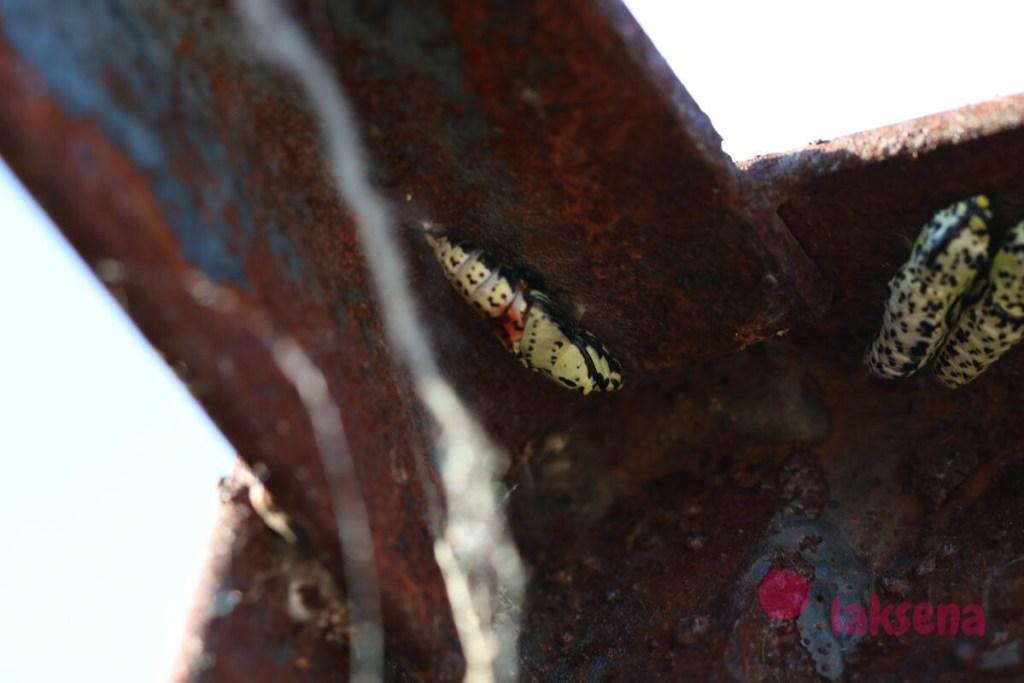 к4уколка боярышницы Aporia crataegi