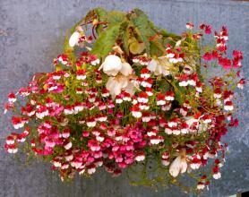 немезия выращивание из семян мантия кардинала