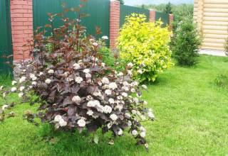 Декоративные кустарники для дачи и сада.