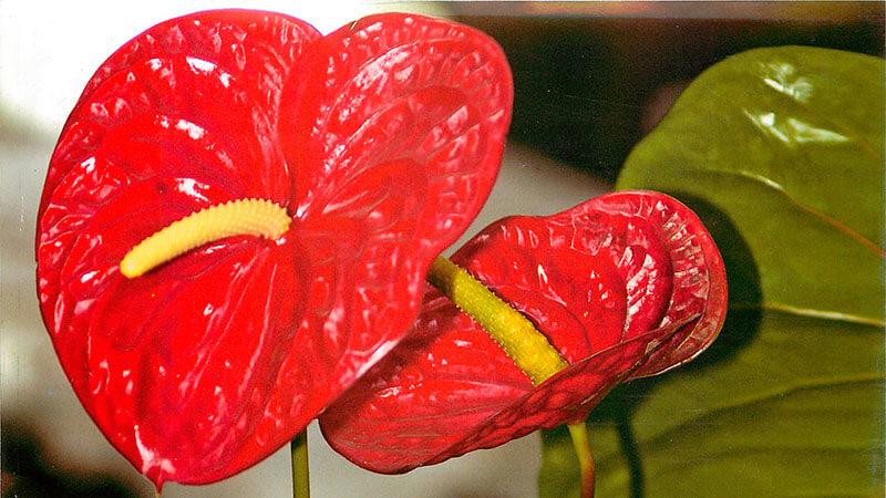 Цветок мужское счастье фото