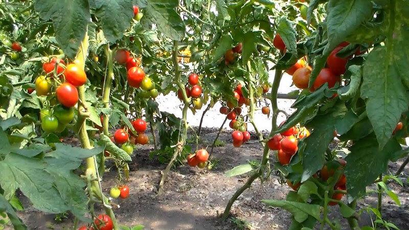 сорта томатов для теплицы устойчивые к фитофторе