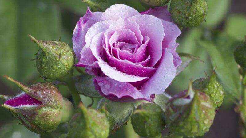 как ухаживать за домашней розой