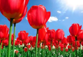 Тюльпаны: посадка и уход в открытом грунте.