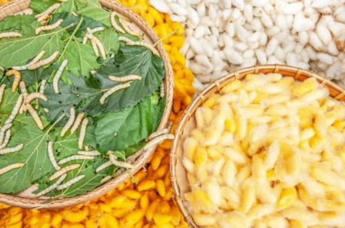 Silkworms and white and yellow silkworm cocoons